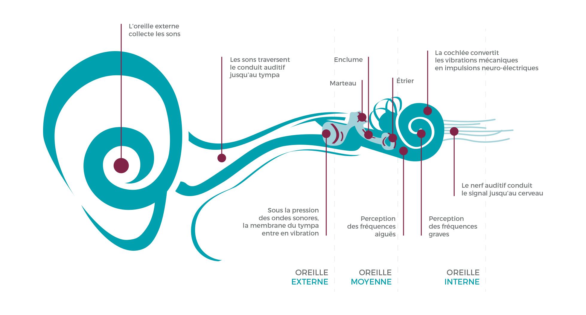 fonctionnement oreille